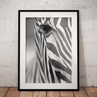 hebbers_poster_zebra